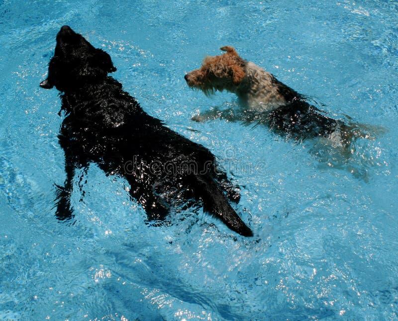 κολύμβηση σκυλιών στοκ φωτογραφία