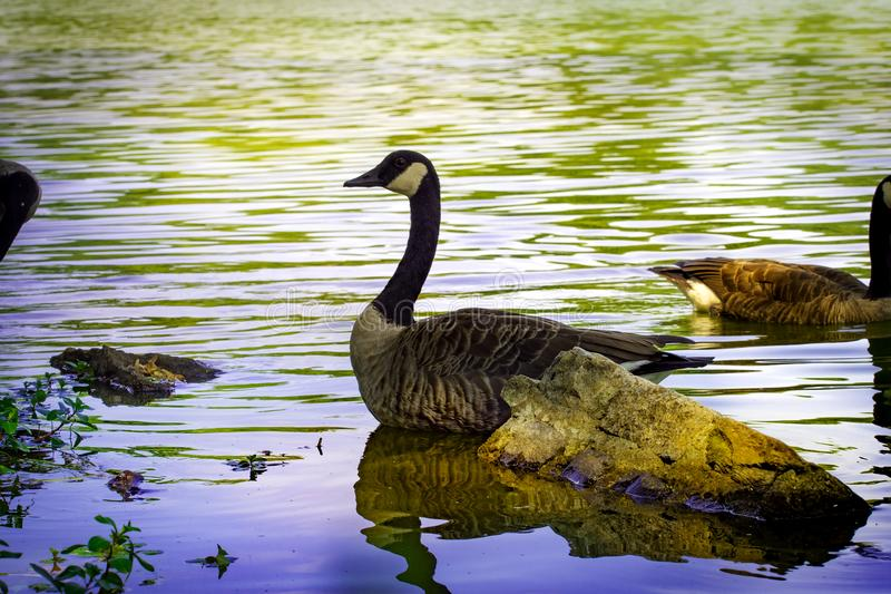 Κολύμβηση χήνων στοκ εικόνα