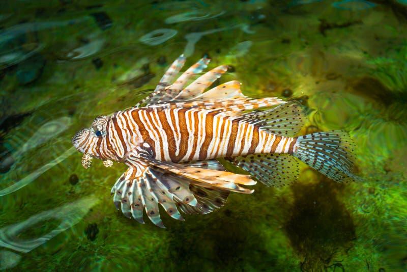 Κολύμβηση ψαριών λιονταριών στοκ φωτογραφία με δικαίωμα ελεύθερης χρήσης
