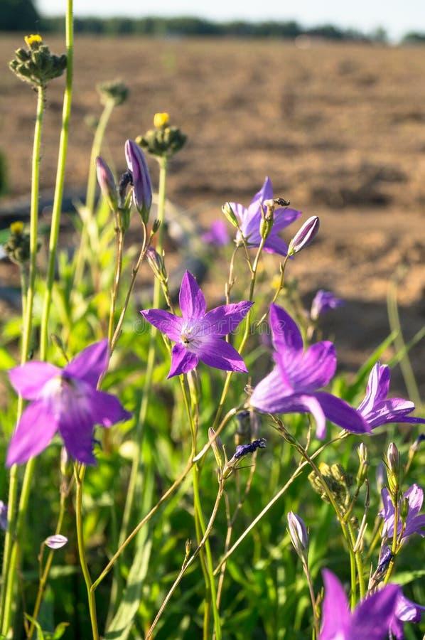 Κομμάτι Uplifting της θερινής επαρχίας Μέτρια λουλούδια ενός patula διάδοσης bellflower Campanula κάτω από το φως του ήλιου στοκ φωτογραφίες με δικαίωμα ελεύθερης χρήσης