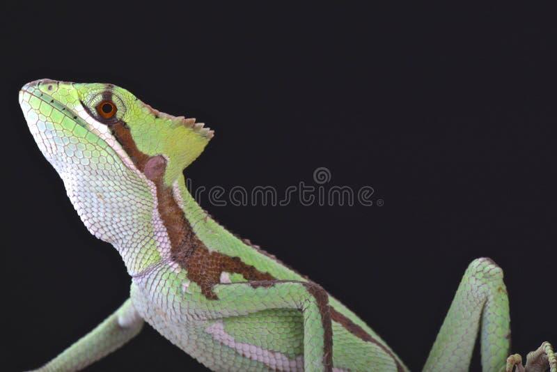 Κομμένο οδοντωτά casquehead iguana (serratus Laemanctus) στοκ φωτογραφία με δικαίωμα ελεύθερης χρήσης