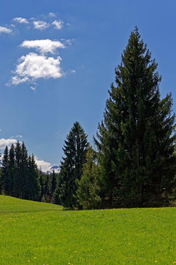 Κομψά δέντρα στο πράσινο υπόβαθρο λιβαδιών στοκ φωτογραφίες