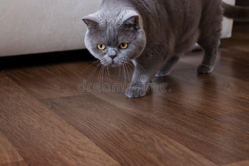 Κομψά βρετανικά κυνήγια γατών shorthair σε ένα δωμάτιο στοκ εικόνες με δικαίωμα ελεύθερης χρήσης