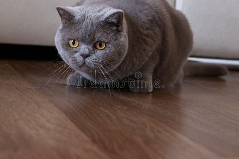 Κομψά βρετανικά κυνήγια γατών shorthair σε ένα δωμάτιο στοκ εικόνα