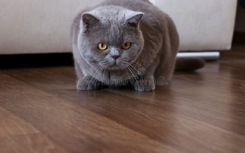 Κομψά βρετανικά κυνήγια γατών shorthair σε ένα δωμάτιο στοκ εικόνες