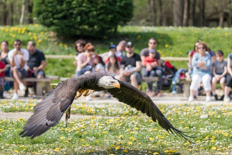 Κομψή άγρια φαλακρή εμπειρία πετάγματος αετών στοκ φωτογραφίες