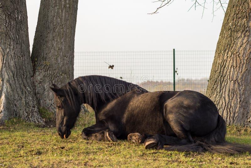 Κομψή μαύρη frisian συνεδρίαση αλόγων στη χλόη στοκ φωτογραφίες