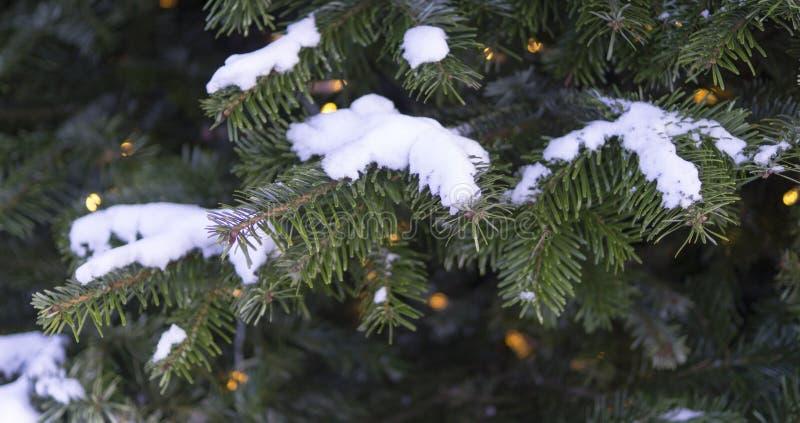 Κομψοί κλάδοι που καλύπτονται με το φρέσκο χιόνι Υπόβαθρο, φύση στοκ εικόνα