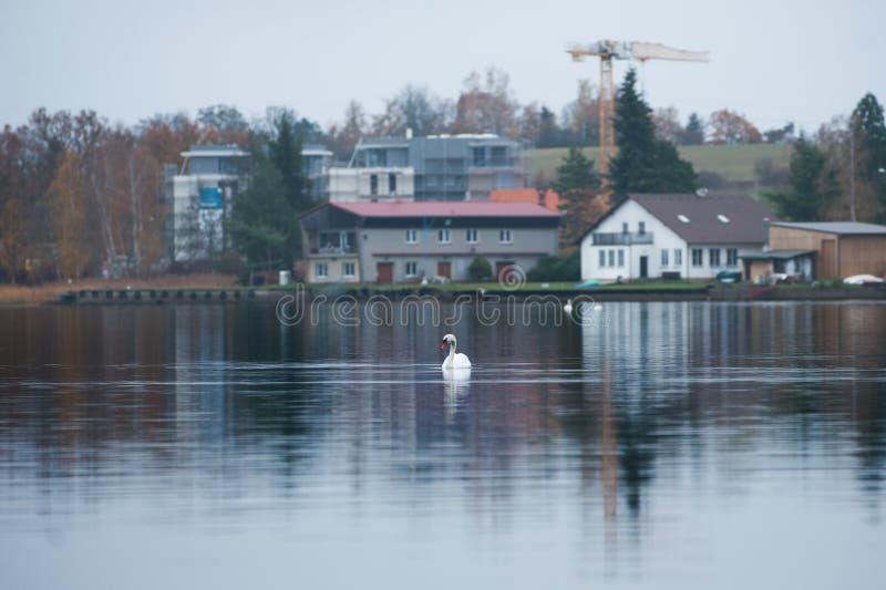 Κομψός άσπρος κύκνος στη λίμνη Περιοχή οικοδόμησης στο υπόβαθρο στοκ εικόνες