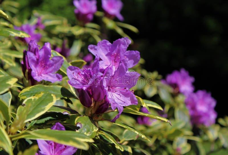 Κομψό πορφυρό λουλούδι αζαλεών πλήρους άνθισης στοκ εικόνες με δικαίωμα ελεύθερης χρήσης