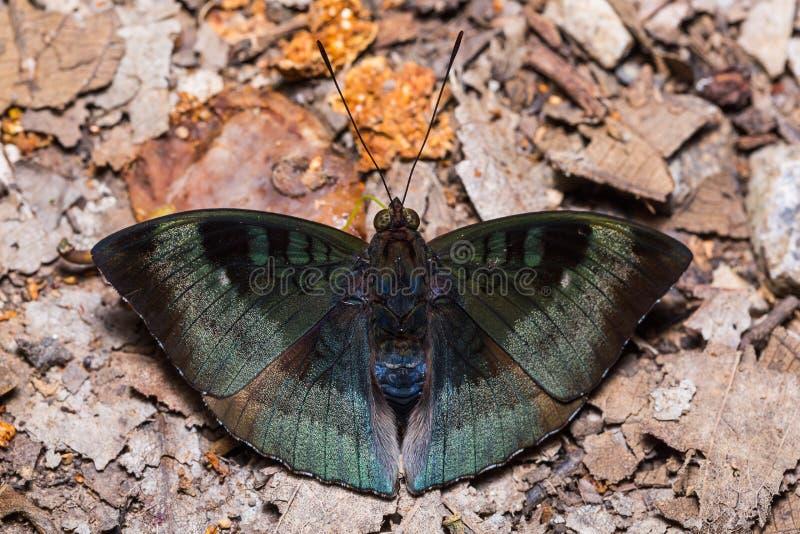 Κονιοποιημένος βαρώνος ή της Μαλαισίας πεταλούδα βαρώνων στοκ εικόνες
