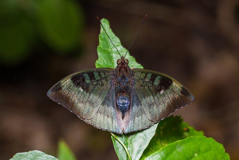 Κονιοποιημένος βαρώνος ή της Μαλαισίας πεταλούδα βαρώνων στοκ φωτογραφίες