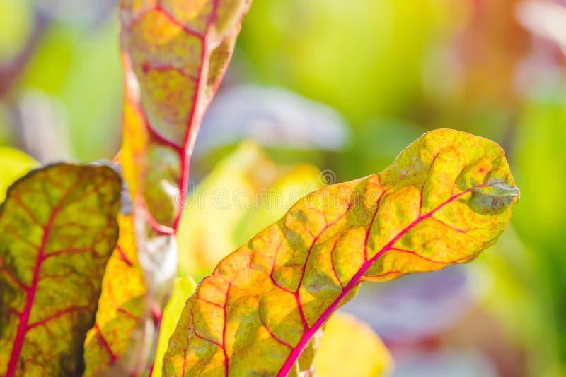 Κοντά στη λεπτομέρεια φύλλου από ελβετικό κάρδαμο στον κήπο με λαχανικά στοκ φωτογραφία με δικαίωμα ελεύθερης χρήσης
