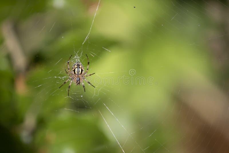 Κοντινό πλάνο της αράχνης του διαδεμάτου του Araneus στο δίχτυ στοκ εικόνες
