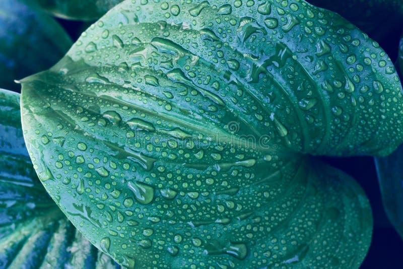 κοντινό πλάνο τροπικού φύλλου με σταγόνες νερού Δροσιά σε τροπικά φύλλα στοκ φωτογραφία με δικαίωμα ελεύθερης χρήσης
