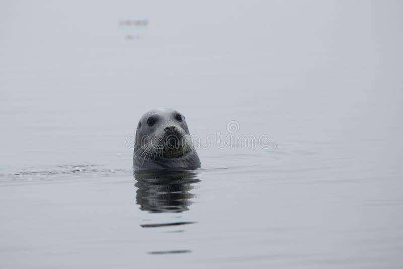 Κοντινό πλάνο φώκιας Arctocephalinae νωρίς το πρωί σε ομίχλη στη θάλασσα στοκ φωτογραφίες με δικαίωμα ελεύθερης χρήσης
