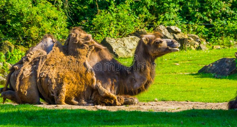 Κοντινό πορτρέτο μιας καμήλας που κάθεται σε ένα βοσκότοπο, ζώο με αλωπεκία, δημοφιλή θηλαστικά ζωολογικών κήπων στοκ φωτογραφίες