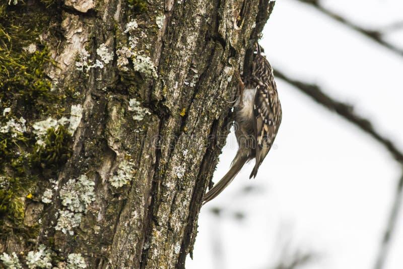 Κοντός-treecreeper το brachydactyla Certhia στοκ εικόνες