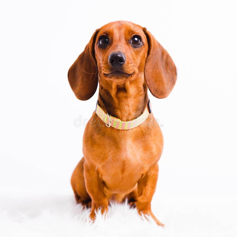 Κοντό μαλλιαρό σκυλί Dachshund που απομονώνεται πέρα από το άσπρο υπόβαθρο στοκ εικόνες με δικαίωμα ελεύθερης χρήσης
