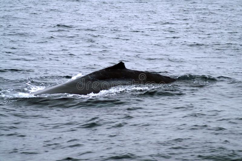Κοντό ραχιαίο πτερύγιο της φάλαινας στον ωκεανό στοκ φωτογραφία με δικαίωμα ελεύθερης χρήσης