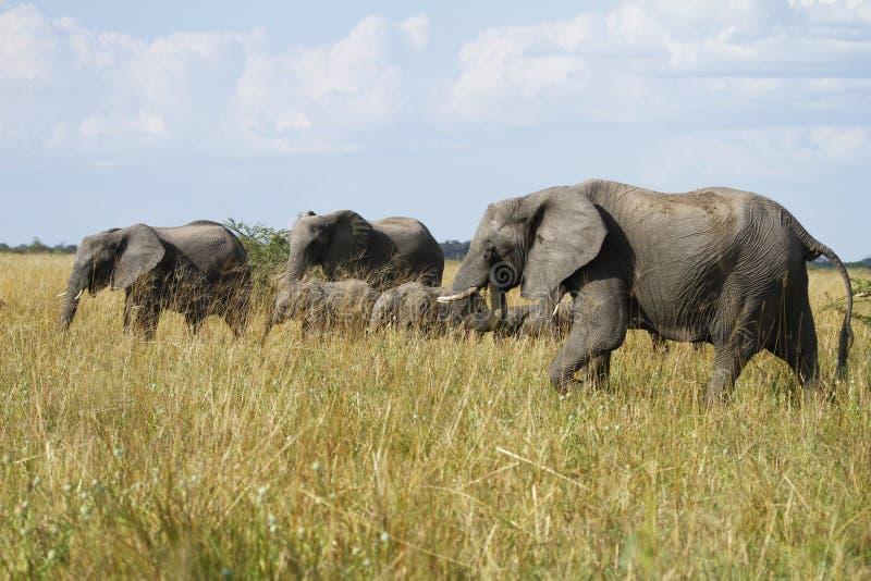 κοπάδι ελεφάντων διασταύ&r στοκ εικόνα με δικαίωμα ελεύθερης χρήσης