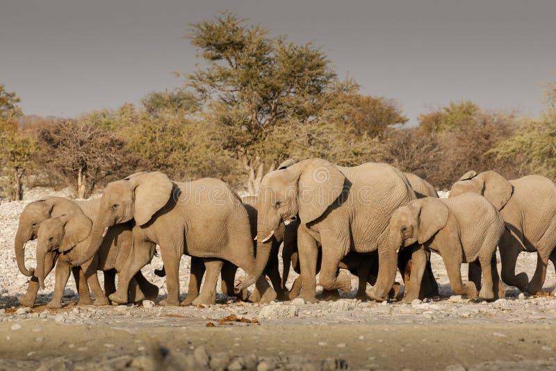 Κοπάδι ελεφάντων που βαδίζει σε ένα waterhole στοκ φωτογραφίες