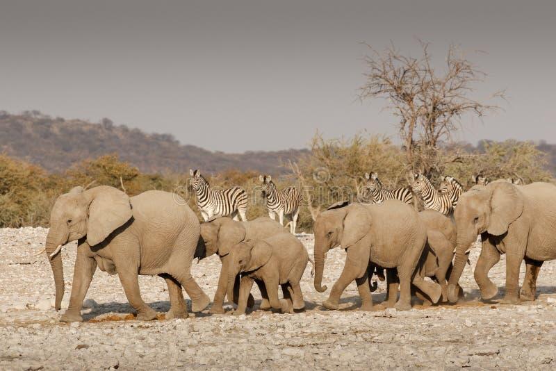 Κοπάδι ελεφάντων που βαδίζει στο νερό στοκ φωτογραφία με δικαίωμα ελεύθερης χρήσης
