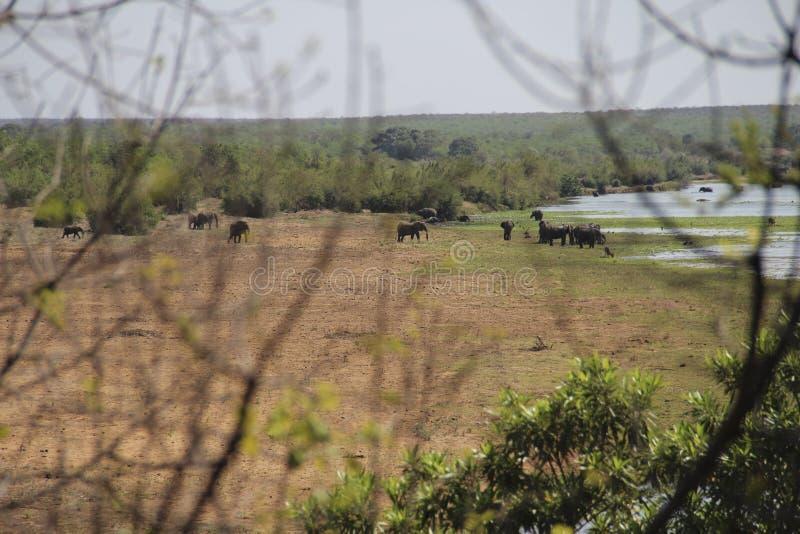 Κοπάδι ελεφάντων που βόσκει και που μεταναστεύει πέρα από τον ποταμό Letaba, Kruger NP, Νότια Αφρική στοκ φωτογραφία