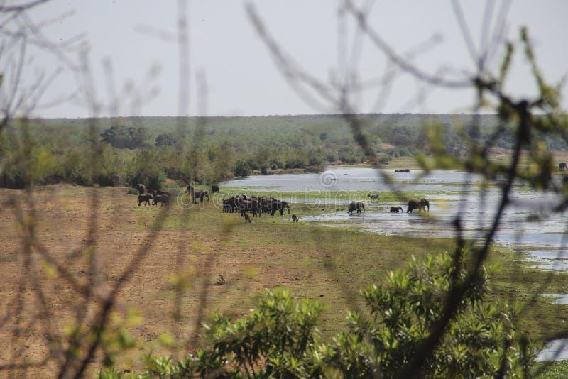 Κοπάδι ελεφάντων που βόσκει και που μεταναστεύει πέρα από τον ποταμό Letaba, Kruger NP, Νότια Αφρική στοκ εικόνες