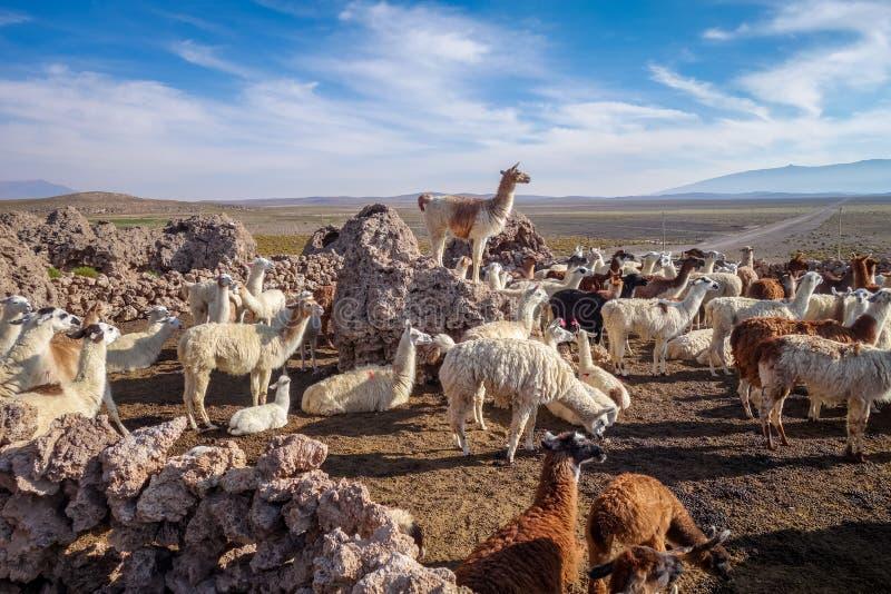 Κοπάδι λάμα στη Βολιβία στοκ φωτογραφίες με δικαίωμα ελεύθερης χρήσης