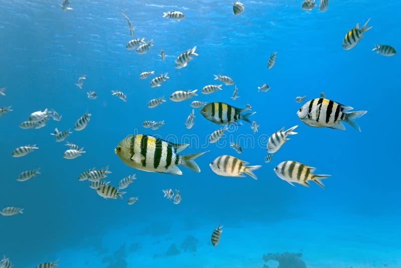 κοπάδι λοχιών ψαριών στοκ εικόνα