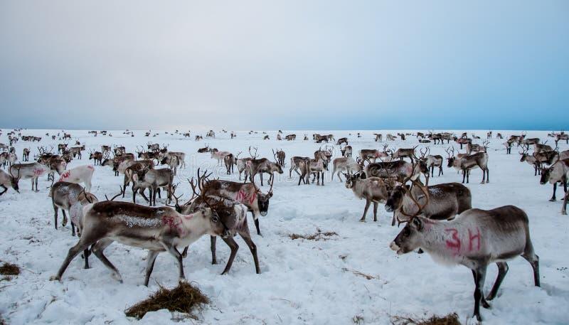Κοπάδι να ταΐσει ταράνδων με τους λόφους Karigasniemi στοκ φωτογραφίες με δικαίωμα ελεύθερης χρήσης