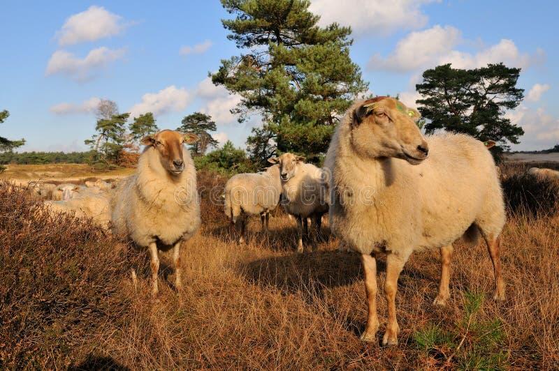 κοπάδι πολλά πρόβατα στοκ φωτογραφία με δικαίωμα ελεύθερης χρήσης