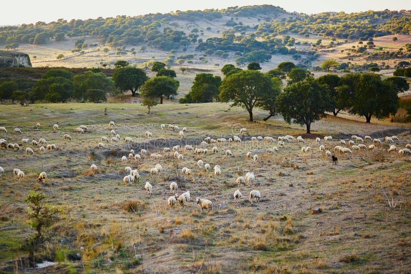 Κοπάδι προβάτων στο λιβάδι στη Σαρδηνία στοκ φωτογραφία