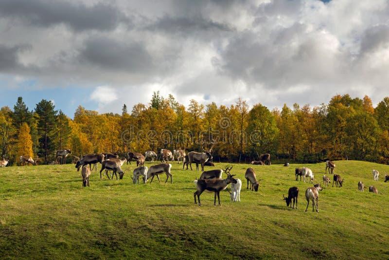 Κοπάδι ταράνδων στις πράσινες πεδιάδες στο φθινοπωρινό τοπίο στοκ εικόνες