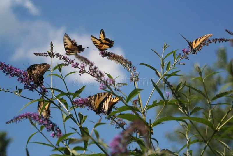 Κοπάδι της τροφής πεταλούδων Swallowtail τιγρών με ένα θερινό απόγευμα στοκ φωτογραφίες