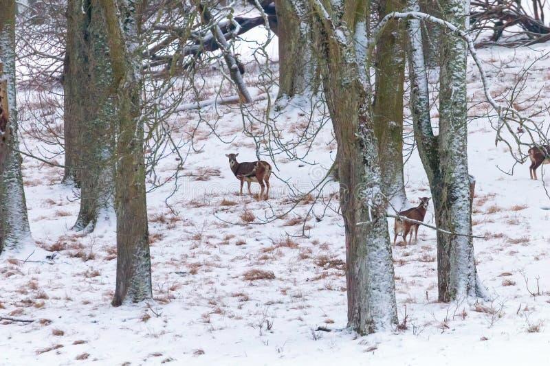 Κοπάδι του δασικού χειμώνα χιονιού ovis mouflons musimon στοκ εικόνα με δικαίωμα ελεύθερης χρήσης