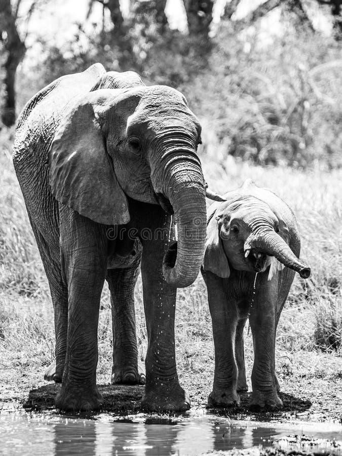 Κοπάδι του διψασμένου αφρικανικού πόσιμου νερού ελεφάντων στο waterhole Επιφύλαξη παιχνιδιού Moremi, περιοχή Okavango, της Μποτσο στοκ φωτογραφία με δικαίωμα ελεύθερης χρήσης