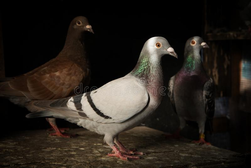 Κοπάδι του κατευθυμένος αυτομάτως πουλιού περιστεριών στην εγχώρια σοφίτα στοκ φωτογραφία με δικαίωμα ελεύθερης χρήσης