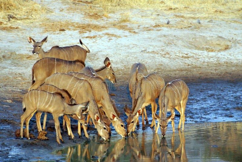 Κοπάδι του kudu σε μια τρύπα ποτίσματος στοκ εικόνα με δικαίωμα ελεύθερης χρήσης