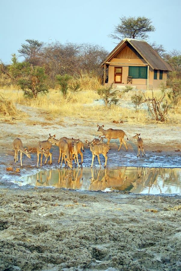 Κοπάδι του kudu σε μια τρύπα ποτίσματος στοκ φωτογραφίες με δικαίωμα ελεύθερης χρήσης