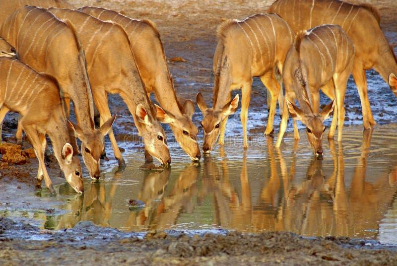 Κοπάδι του kudu σε μια τρύπα ποτίσματος στοκ εικόνες