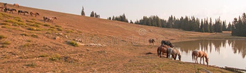Κοπάδι των άγριων αλόγων στο waterhole στα ξημερώματα στην άγρια σειρά αλόγων βουνών Pryor στη Μοντάνα ΗΠΑ στοκ εικόνες