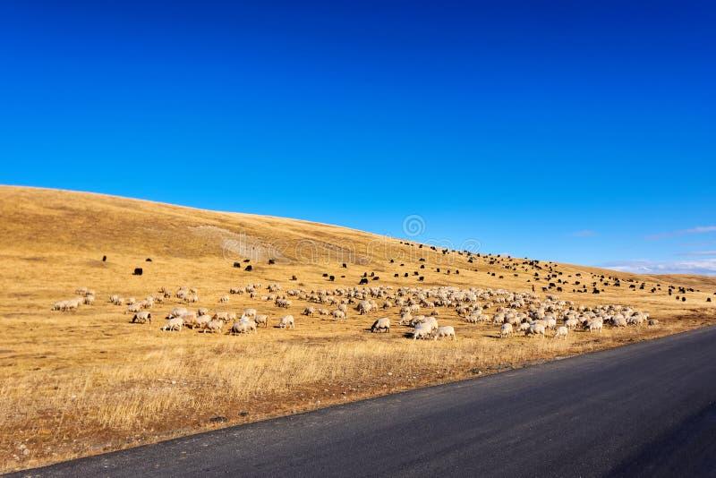 Κοπάδι των άσπρων προβάτων κατά τη βοσκή και των μαύρων yaks στο ηλιόλουστο λιβάδι φθινοπώρου με το μπλε ουρανό και το κίτρινο υπ στοκ εικόνες