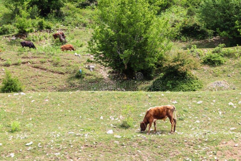Κοπάδι των αγελάδων που βόσκουν στο πράσινο λιβάδι στοκ φωτογραφίες με δικαίωμα ελεύθερης χρήσης