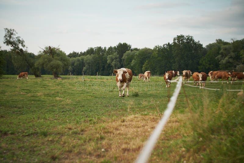 Κοπάδι των αγελάδων σε ένα πολύβλαστο πράσινο λιβάδι λιβαδιού στοκ εικόνα