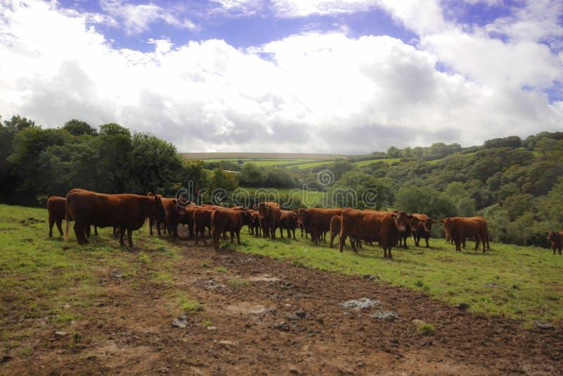 Κοπάδι των αγελάδων Exmoor στοκ εικόνες με δικαίωμα ελεύθερης χρήσης