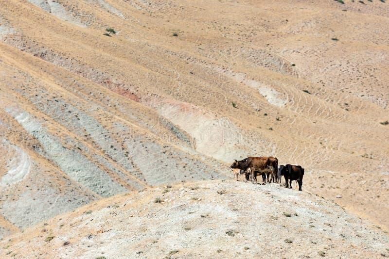 Κοπάδι των αγελάδων mountainside στοκ εικόνα