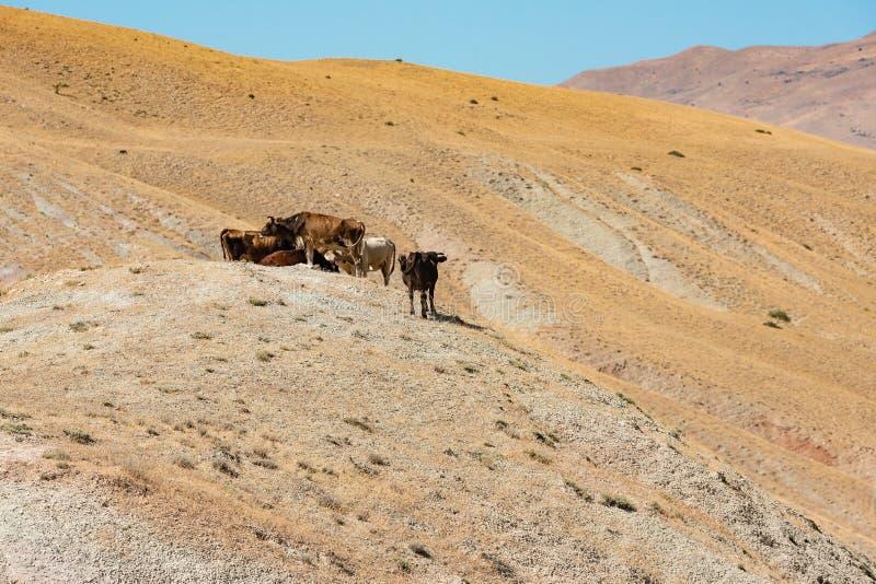 Κοπάδι των αγελάδων mountainside στοκ φωτογραφίες