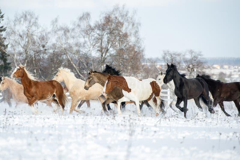 Κοπάδι των αλόγων που τρέχουν μέσω ενός χιονώδους καλπασμού τομέων στοκ φωτογραφία με δικαίωμα ελεύθερης χρήσης